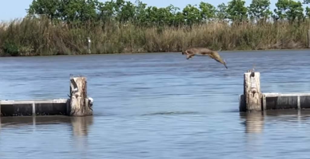 Impresionante salto de un Lince grabado por unos pescadores 1