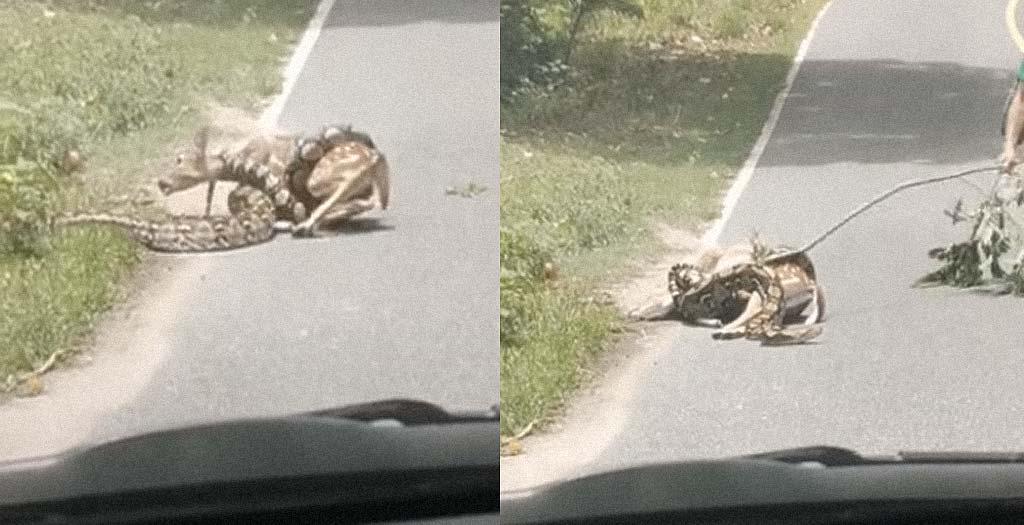 Encuentra en la carretera una boa comiéndose a un ciervo 1