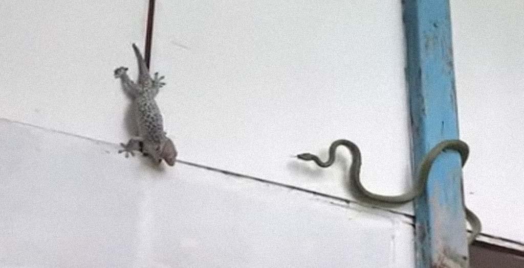 Gecko se enfrenta a una serpiente 8
