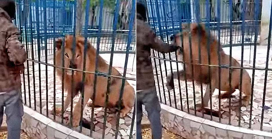Visitante del zoo se acerca demasiado a la jaula de los leones 40