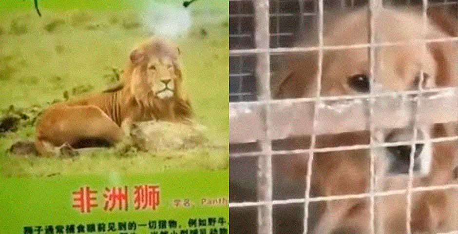 Un Zoo Chino tiene un León falso que en realidad es un perro 5