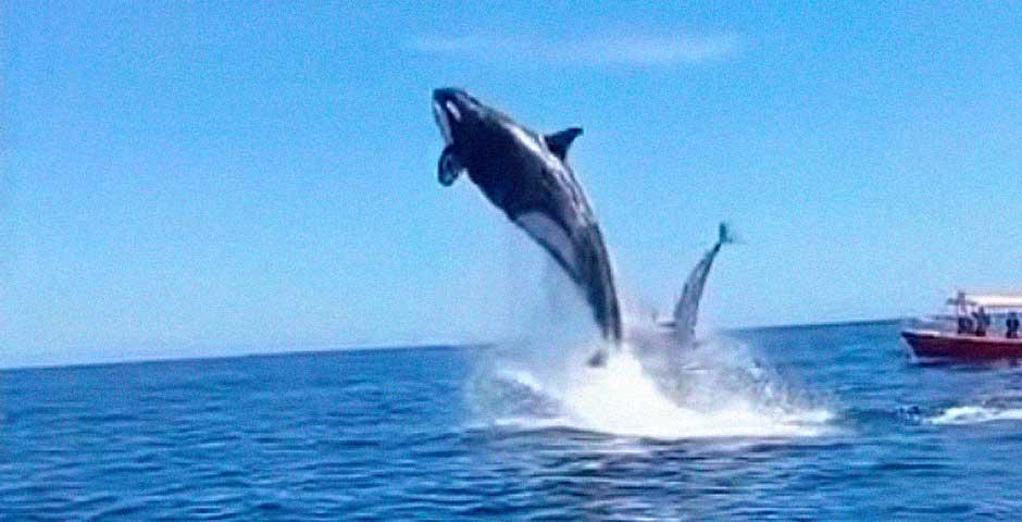 Espectacular vídeo del ataque de una Orca a unos delfines 4