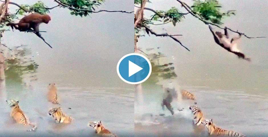 Este vídeo te va a sorprender, los tigres esperando cazar al mono 4